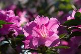 lush fresh azalea flowers