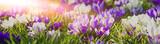 Fototapety Frühlingserwachen - lila blühende Krokusse in der Morgensonne, Banner