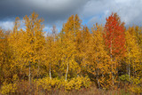 Red birch among yellow in autumn. Polar Urals. Russia.
