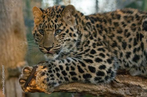 Poster Amur Leopard Cub