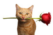 Close-up Portrait of Ginger Cat Lover Brought Flower as a gift in Mouth with smile isolated on white background, front view