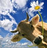 Alle Liebe, Gratulation, Herzlichen Glückwunsch: Kuh schenkt Blume :) - 135948294