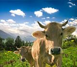 Glückliche Schweizer Kühe in artgerechter Haltung auf Almwiese :) - 135948824