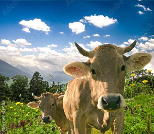 Aluminium Glückliche Schweizer Kühe in artgerechter Haltung auf Almwiese :)
