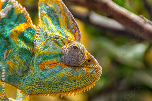 The colorful Chameleon sitting on a branch