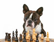 a cute boston terrier looking intently at a chess game isolated
