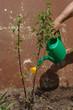 Watering a bush