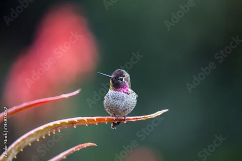 Anna's hummingbird (Calypte anna) Poster