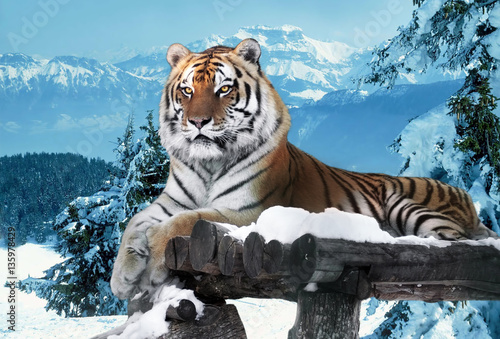 Fotobehang Tijger Tiger at the snow mountains laying at the wood