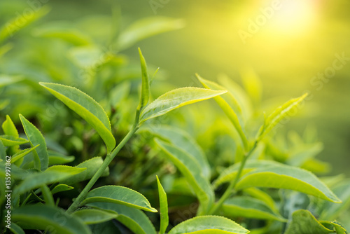 Staande foto India Green tea bud and leaves on the sun