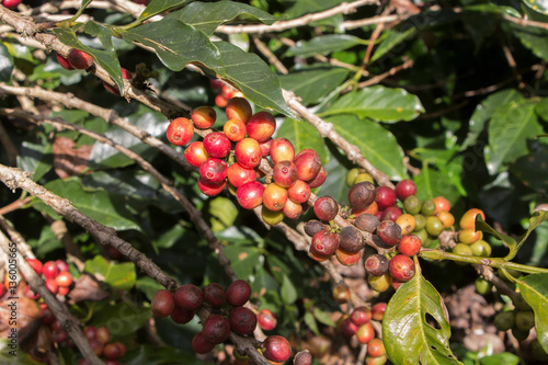 Foto op Canvas Koffie Ripening coffee beans on a tree