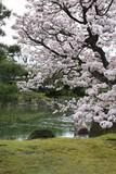 庭園の中の満開の桜