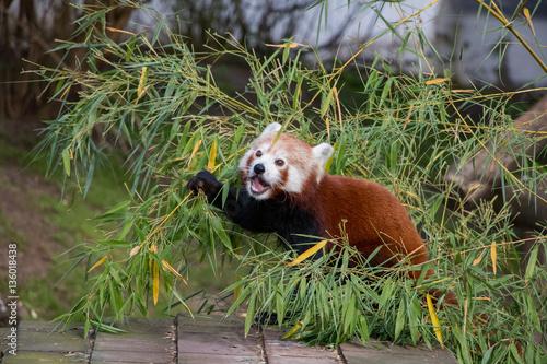 Fotobehang Panda Panda roux en train de manger