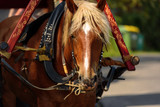 Brown horse in a harness close-up. Sunny summer day.