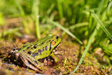 portrait of green frog (Rana esculenta) sitting