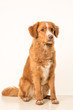 Young Toller adult