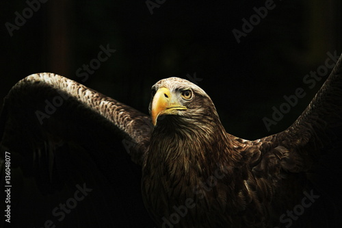 Poster White-tailed Eagle