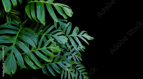 Green leaves of Monstera plant growing in wild, the tropical for
