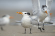 A Royal Tern stands on a sandy beach as another tern comes in to land just behind it.