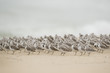 A large flock of Sanderlings stand on a sandy beach resting with their beaks tucked into their feathers.