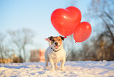 Holiday mood: happy dog with red balloons in shape of heart