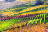 Beautiful autumn vineyards of Piemonte - famous vine region of Italy