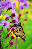A monarch butterfly collects nector from a purple flowering plant.