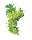 Grape watercolor illustration isolated on white background
