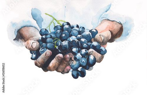 Grapes in hands watercolor painting illustration isolated on white background - 136118652