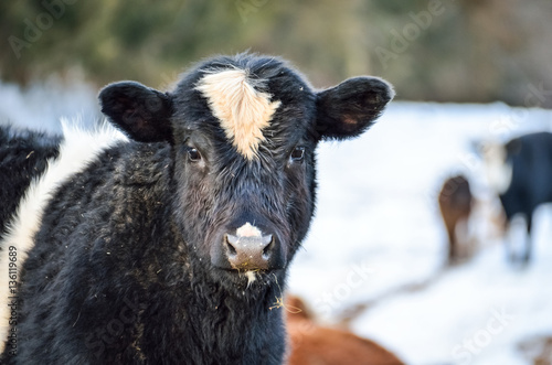 Closeup of black and white jersey cow eating during snowy winter Poster