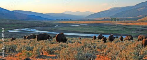 Fotobehang Bison Bison Buffalo herd at dawn in the Lamar Valley of Yellowstone National Park in Wyoiming USA