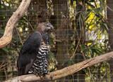 Crowned eagle Stephanoaetus coronatus