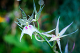 Orchid Brassia Spider  in the garden