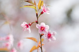 Pink cherry blossom in winter,Chiangmai,Thailand
