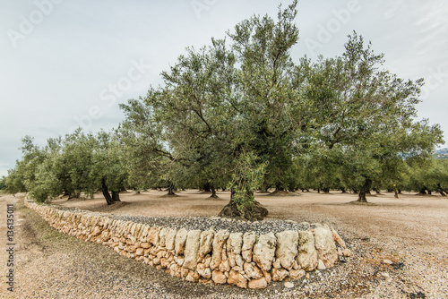Tuinposter Olijfboom Olive trees in ancient orchand in Spain