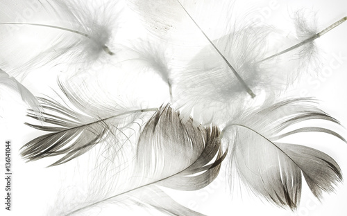 bird feather on a white background as a background for design - 136141044