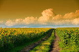 dirt road in a sunflower field
