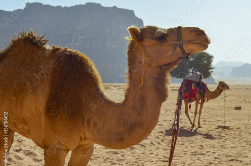 Dromedarios en el desierto de Wadi Rum, Jordania Poster
