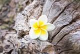 frangipani (plumeria) and sweet flowers in wood color and sharpn