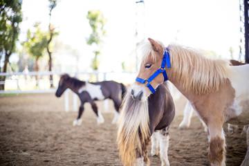 Shetland pony in farm