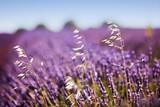 white flowers among lavender