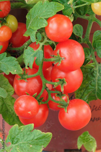 Red cherry tomatoes growing