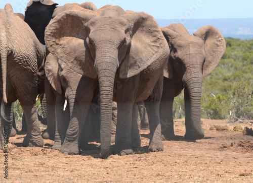 Poster Elefantengruppe