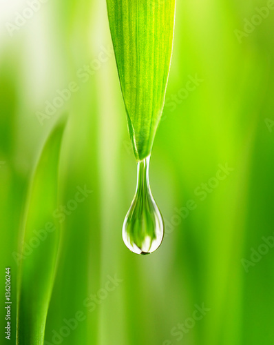 Leinwandbild Motiv Large water drop rain dew  in spring summer grass close-up macro. Young juicy green Shoots sprouts of wheat in the sunlight.