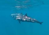 Three dolphins underwater