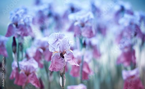 Iris Flowers © B. and E.  Dudziński