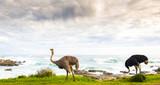 Ostrich Pair Beside Ocean