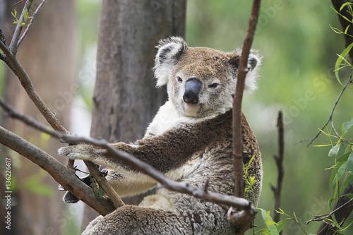 Poster Oceanië Koala in a tree