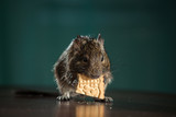 rodent eats on table