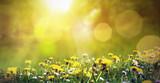 Fototapety Frühlingswiese mit Löwenzahn und einer Biene im Sonnenschein
